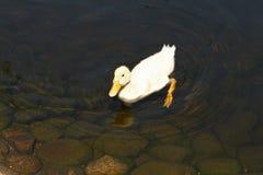 鸭子白色 婴孩逗人喜爱的鸭子 游泳在水中的幼小白色鸭子在湖 鸭子游泳在池塘 一只白色鸭子的婴孩 库存图片