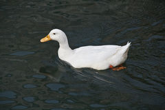 鸭子白色 免版税库存图片