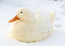鸭子白色 图库摄影