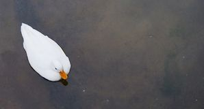 鸭子白色 免版税库存照片