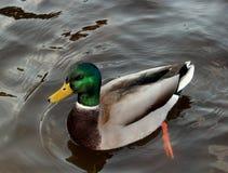 鸭子的人在湖 免版税库存图片
