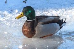 鸭子的侧视图 免版税图库摄影