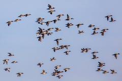 鸭子的另外种类群  库存照片