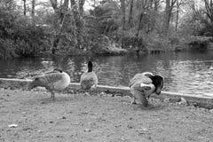 鸭子的活动 库存图片