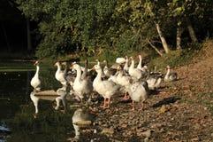 鸭子的湖 库存图片