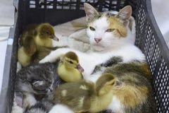 鸭子的猫养母 库存图片