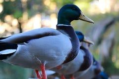 鸭子的生活 库存照片