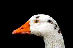 鸭子的纵向 库存图片