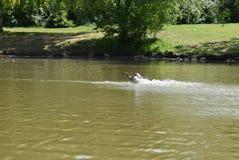 鸭子着陆在湖 库存照片