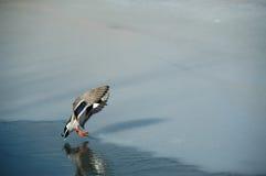 鸭子着陆 免版税图库摄影