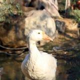 鸭子站立在池塘附近的天鹅鹅 免版税库存照片