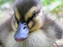 鸭子纵向其它 库存图片