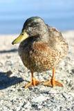 鸭子纵向  免版税库存照片