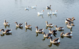 鸭子组 库存图片