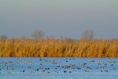 鸭子群哺养在日落, Po三角洲 免版税库存图片