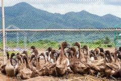 鸭子群在农场 免版税图库摄影