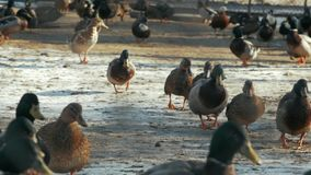 鸭子群在雪走 股票视频