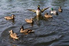 鸭子群在晴天在蓝色湖水中捉住面包 免版税库存图片