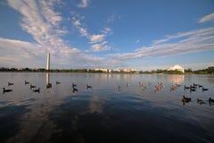 鸭子群横跨与华盛顿纪念品和杰斐逊纪念品和背景的潮水坞游泳 免版税库存图片