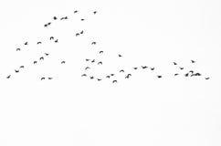鸭子群现出轮廓反对白色背景 免版税图库摄影