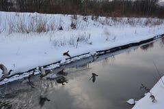 鸭子群从在多雪的河岸背景的水表面离开  免版税库存图片