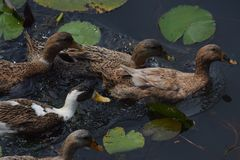 鸭子群 免版税图库摄影