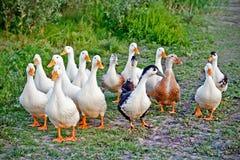 鸭子群 库存照片