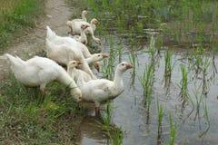 鸭子群 图库摄影