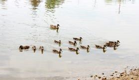 鸭子群 库存图片
