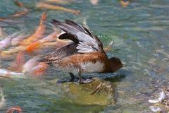 鸭子舒展 库存图片