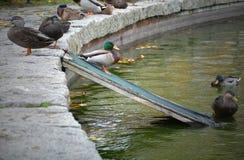鸭子舷梯 库存照片