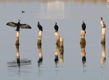 鸭子苍鹭海反射自然自然 免版税库存照片