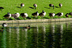 鸭子行在池塘边 库存图片