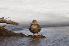 鸭子被栖息在分支 免版税库存图片