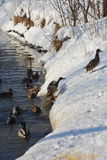 鸭子跳出河并且爬上河的一多雪的河岸 免版税库存图片
