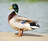 鸭子身分 库存照片