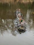 鸭子连续 库存照片