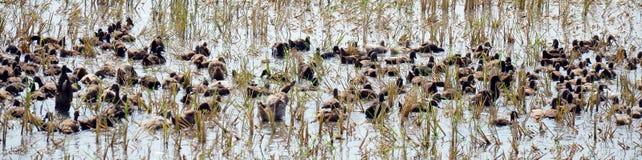 鸭子追逐领域暴民在Pathumthani泰国 库存照片