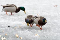 鸭子追逐 库存图片