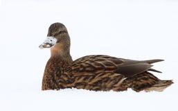 鸭子野鸭 免版税库存图片