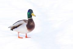 鸭子野鸭 免版税库存照片
