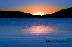 鸭子金黄反映玫瑰色日落游泳 免版税库存照片