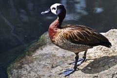 鸭子面对池塘吹哨的白色 库存照片