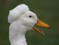 鸭子顶头白色 免版税库存图片