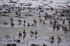 鸭子领域哺养 库存照片