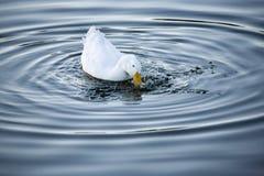 鸭子飞溅 库存照片
