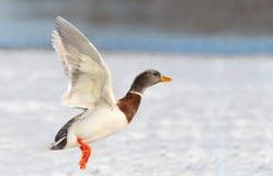 鸭子飞行白色 免版税库存照片