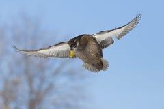 鸭子飞行野鸭 库存照片