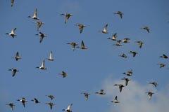 鸭子飞行 免版税图库摄影