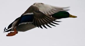 鸭子飞行 免版税库存图片